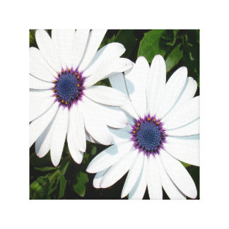 A Pair of Pristine White African Daisies Canvas Print