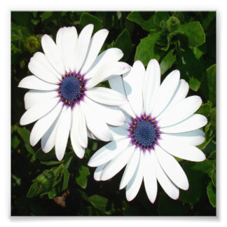 A Pair of Pristine White African Daisies Photo Print