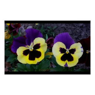 A Pair of Purple and Yellow Pansies Poster