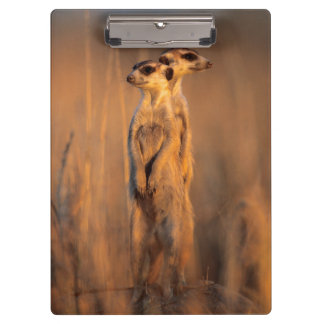 A pair of Suricates standing on a rock at sunset Clipboard