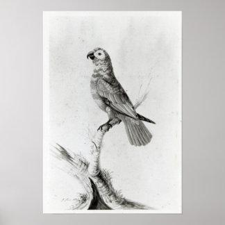 A Parrot, 1786 Poster