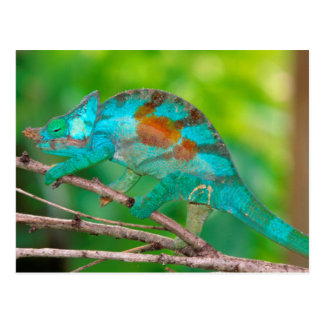 A Parson's Chameleon moving along a branch 2 Postcard