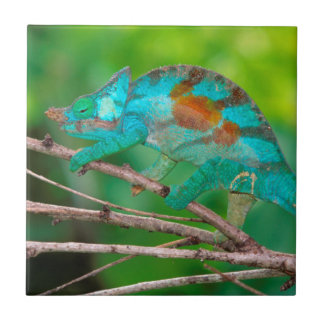 A Parson's Chameleon moving along a branch 2 Tile