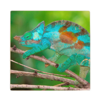 A Parson's Chameleon moving along a branch 2 Wood Coaster