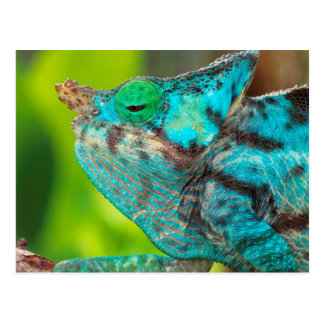 A Parson's Chameleon moving along a branch Postcard