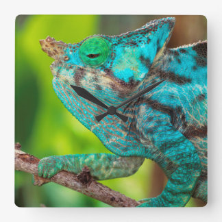 A Parson's Chameleon moving along a branch Square Wall Clock
