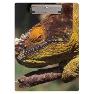 A Parson's Chameleon perched on a branch Clipboard