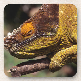A Parson's Chameleon perched on a branch Coaster