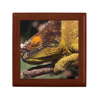A Parson's Chameleon perched on a branch Gift Box