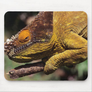A Parson's Chameleon perched on a branch Mouse Mat