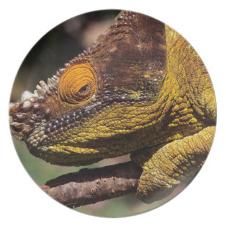 A Parson's Chameleon perched on a branch Plate
