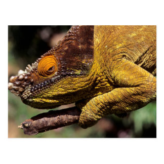 A Parson's Chameleon perched on a branch Postcard