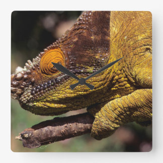 A Parson's Chameleon perched on a branch Square Wall Clock