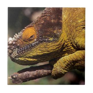 A Parson's Chameleon perched on a branch Tile