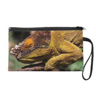 A Parson's Chameleon perched on a branch Wristlet
