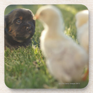 A Pekinese puppy on the grass. Drink Coasters