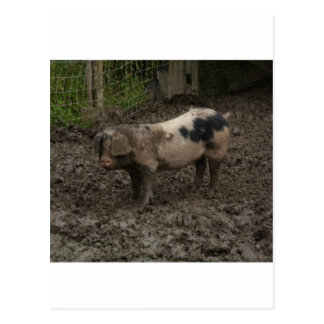A pig in muck post cards