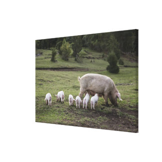A pig with piglets in a field canvas print