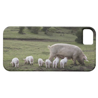 A pig with piglets in a field iPhone 5 cases