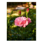 A pink rose and two rosebuds postcard
