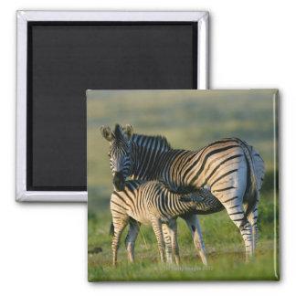 A Plains Zebra feeding her foal, Kwazulu-Natal Square Magnet