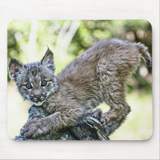 A Playful Canadian Lynx Kitten Mousepads