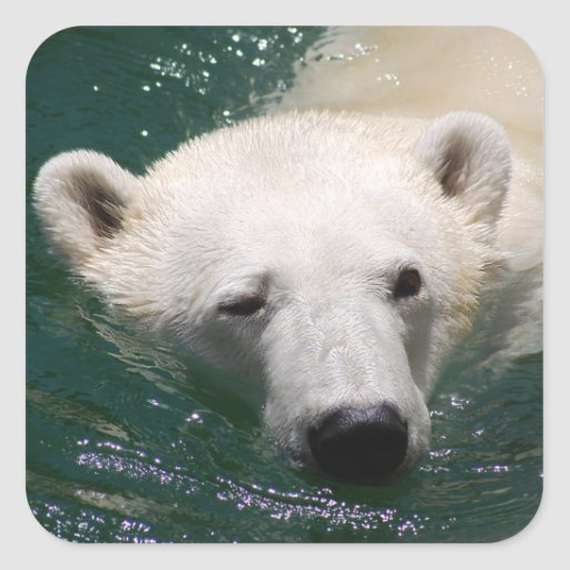 A polar bear just chilling square stickers
