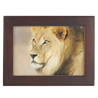A portrait of a Lion, Kgalagadi Transfrontier Park Keepsake Box