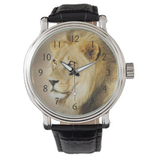 A portrait of a Lion, Kgalagadi Transfrontier Park Watch