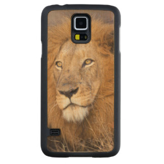 A portrait of a Lion looking into the distance Carved Maple Galaxy S5 Case
