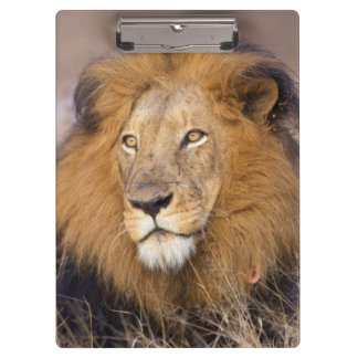 A portrait of a Lion looking into the distance Clipboard