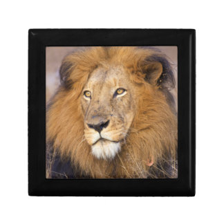 A portrait of a Lion looking into the distance Gift Box