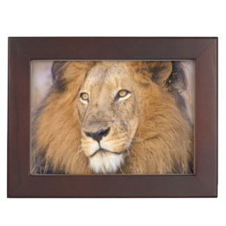 A portrait of a Lion looking into the distance Keepsake Box