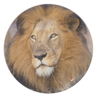 A portrait of a Lion looking into the distance Plate