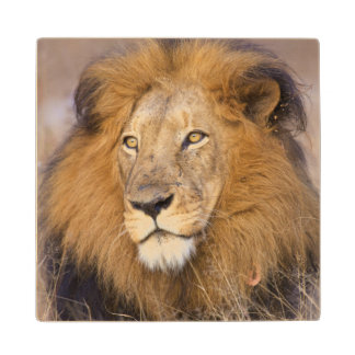 A portrait of a Lion looking into the distance Wood Coaster