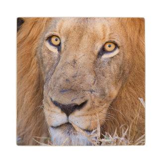 A portrait of a Lion Wood Coaster