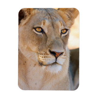 A portrait of a Lioness looking into the distance Magnet