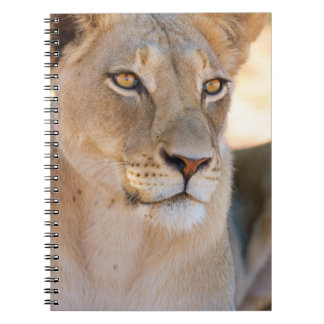 A portrait of a Lioness looking into the distance Notebook