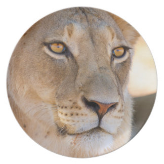 A portrait of a Lioness looking into the distance Plate