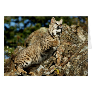 A Pouncing Bobcat Card