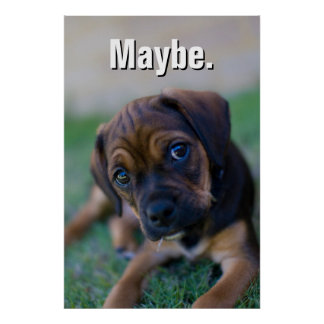 A Pug Cross Beagle Puppy (Puggle) Poster