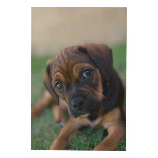 A Pug Cross Beagle Puppy (Puggle) Wood Wall Art