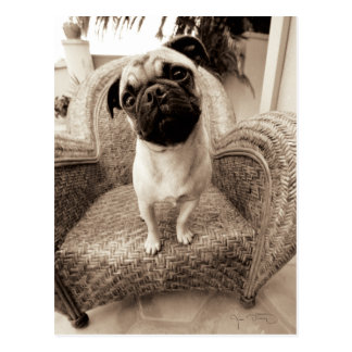 A Pug with its Head Titled to the Side Postcard