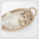 A rabbit is in a basket.Holland Lop.