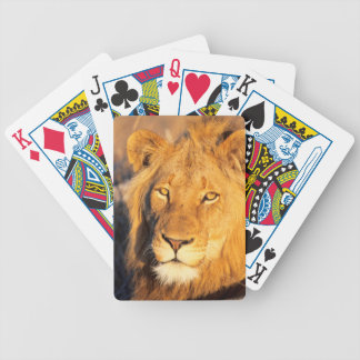 A Red Maned Lion looking at the camera. Bicycle Playing Cards