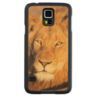 A Red Maned Lion looking at the camera. Carved Maple Galaxy S5 Case