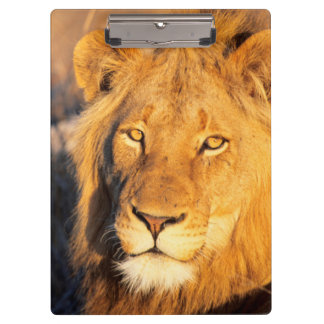 A Red Maned Lion looking at the camera. Clipboard