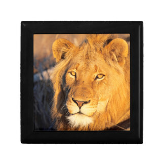 A Red Maned Lion looking at the camera. Gift Box