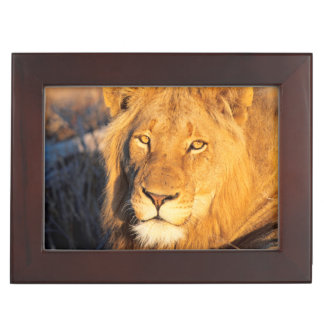 A Red Maned Lion looking at the camera. Keepsake Box