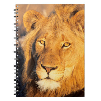 A Red Maned Lion looking at the camera. Notebooks